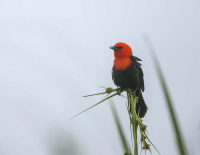 Scarlet-headed Blackbird Ibera Marsh NE Argentina_20181004_2710.jpg